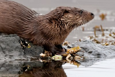 Otters are often seen around the coastline