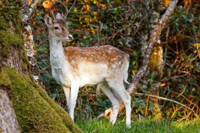 Fallow deer can be seen around Lochbuie