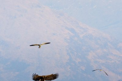 White tailed eagles can be seen around Mull's coast.