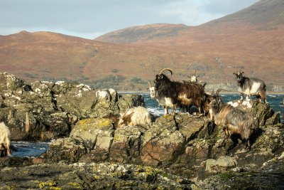 Wild goats at Lochbuie