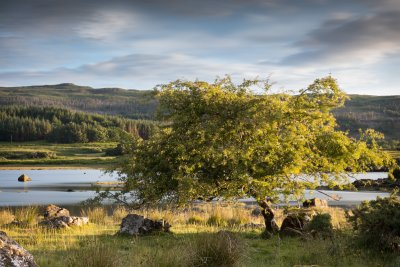 Tree on the shore of Loch Cuin