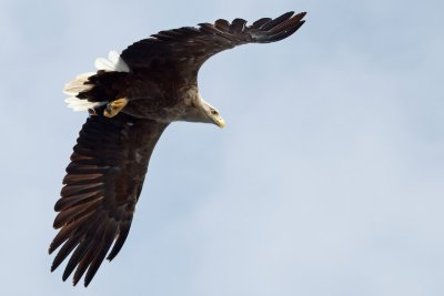 White tailed eagles are frequently seen in the local area