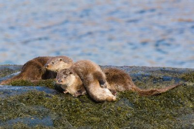 Otters on the shoreline