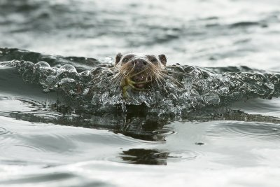 Otter returning with a good catch