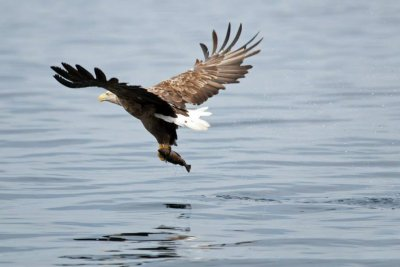 White tailed eagle fishing off the coast of Mull