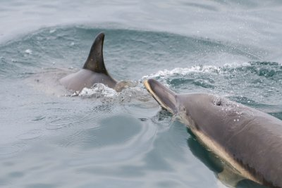 Common dolphins seen around Mull's coasts
