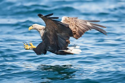 Sea eagle about to strike a fish