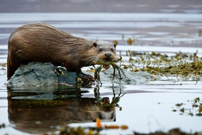 Otter with it's crab catch