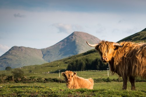 Highland cattle at Callachally farm in the glen
