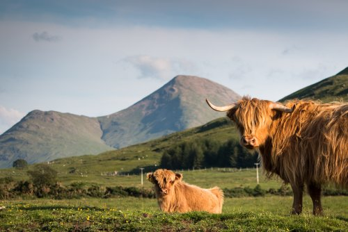Highland cows at Glen Forsa