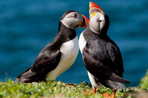 Puffins can be seen on Staffa and the Treshnish Isles