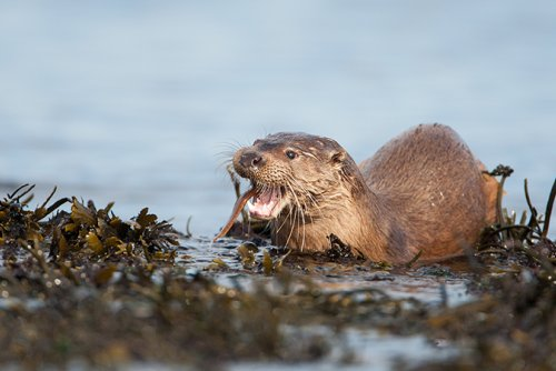 Otters around the waters of Mull